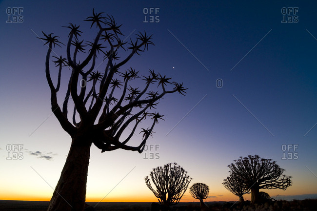 Quiver tree or Kokerboom (Aloe dichotoma), Quiver Tree or Kokerboom Forest, sunset, dusk, Kenhard, Northern Cape, South Africa, Africa