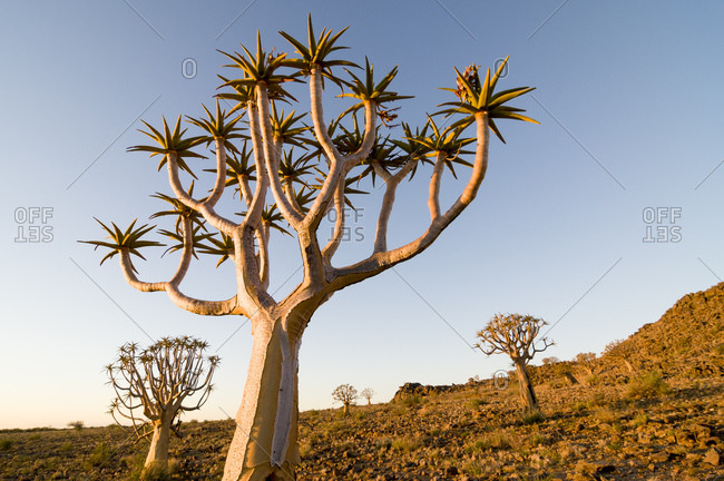 Quiver tree or Kokerboom (Aloe dichotoma), Quiver Tree or Kokerboom Forest, Kenhard, Northern Cape, South Africa, Africa
