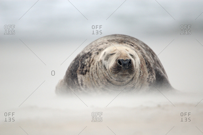 Gray Seal (Halichoerus grypus) bull in a sandstorm, Heligoland, Schleswig-Holstein, Germany, Europe