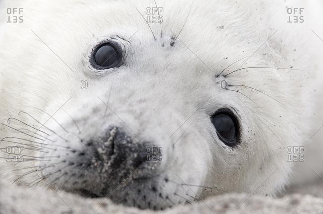 Grey seal (Halichoerus grypus) pup, portrait, Heligoland, Schleswig-Holstein, Germany, Europe
