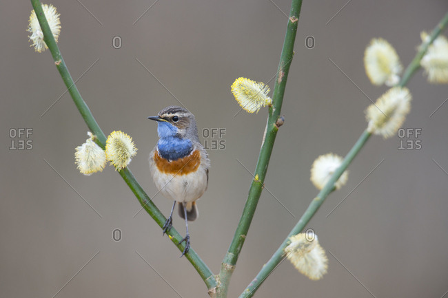 Bluethroat (Luscinia svecica), Emsland, Lower Saxony, Germany, Europe
