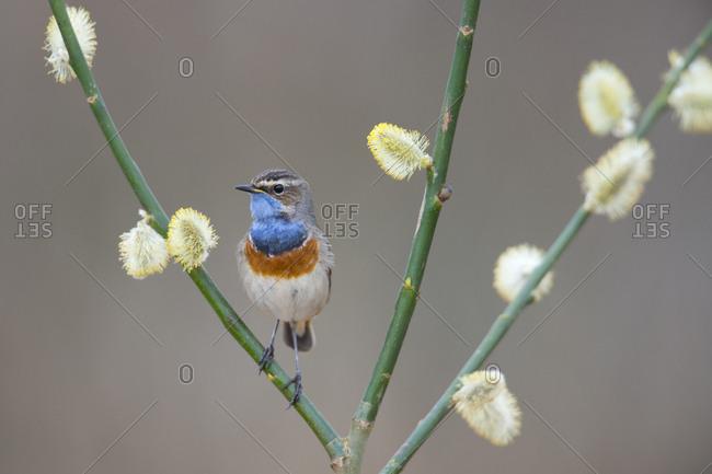 Bluethroat (Luscinia svecica), Emsland, Lower Saxony, Germany, Europe