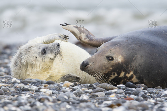 Grey seal, also Atlantic or horsehead seal (Halichoerus grypus) with pup, Heligoland, Schleswig-Holstein, Germany, Europe