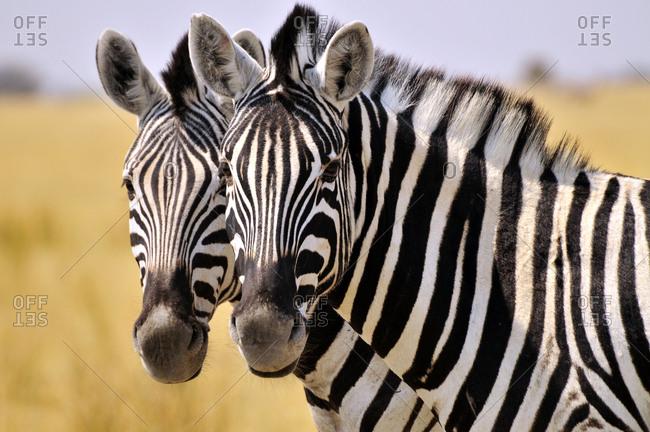 Faces of two Plains Zebras (Equus quagga), Etosha National Park, Namibia, Africa