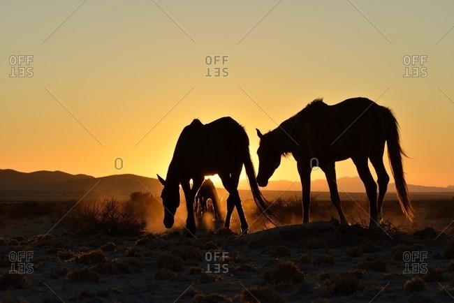 Namib desert horses (Equus ferus) at sunset, backlight, near watering hole at Garub, Aus, Karas Region, Namibia, Africa