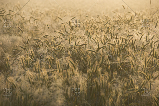 Barley (Hordeum vulgare), ears with morning dew, Thuringia, Germany, Europe