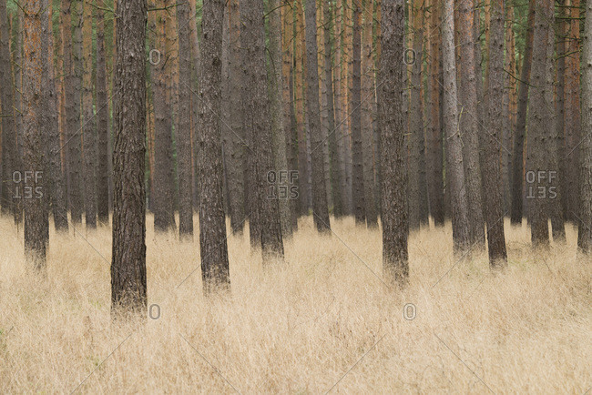 Scots Pines (Pinus sylvestris), pine monoculture, pine forest, Holzacker, Lower Saxony, Germany, Europe