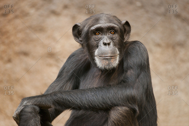 Western Chimpanzee or West African Chimpanzee (Pan troglodytes verus), captive, Saxony, Germany, Europe