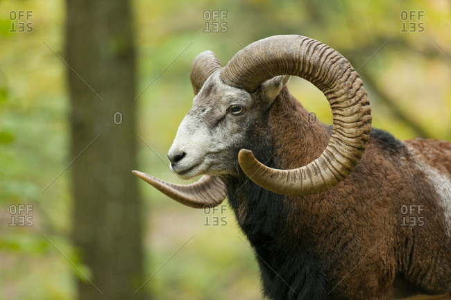 Mouflon (Ovis ammon musimon), ram, captive, Saxony, Germany, Europe