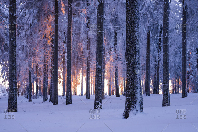 Snowy Norway spruce (Picea abies) forest at sunset, Thuringian Forest, Thuringia, Germany, Europe