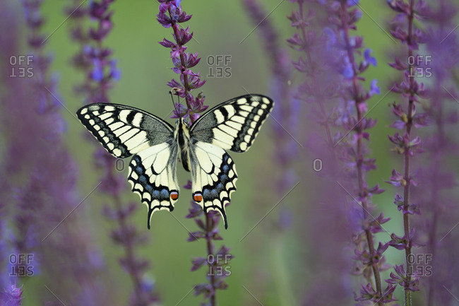Old World Swallowtail (Papilio machaon), between meadow sage, Pleven region, Bulgaria, Europe