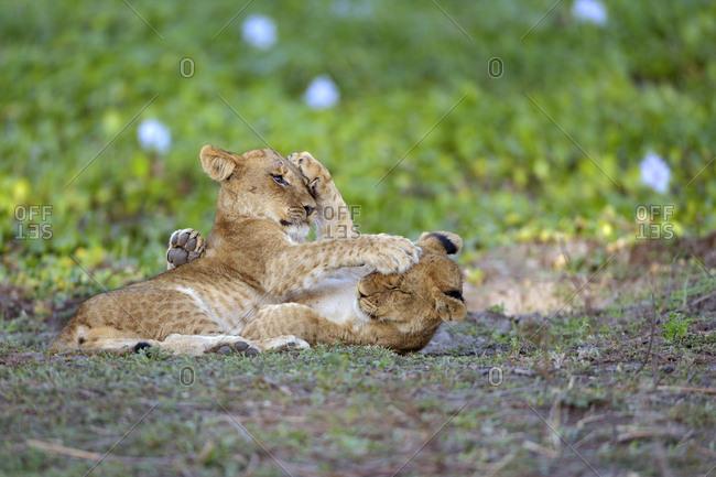 Young lions (Panthera leo), lion cubs, play fighting, Lower Zambezi National Park, Zambia, Africa