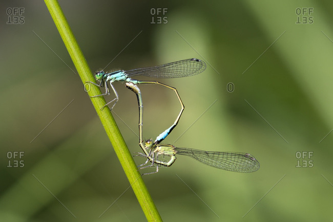 Great-tailed Damselfly (Ischnura elegans) pair mating, mating wheel, Hesse, Germany, Europe