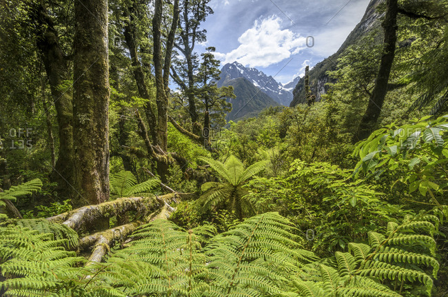 Lush rainforest with tree ferns (Cyatheales) in the Fiordland National Park, South Island New Zealand