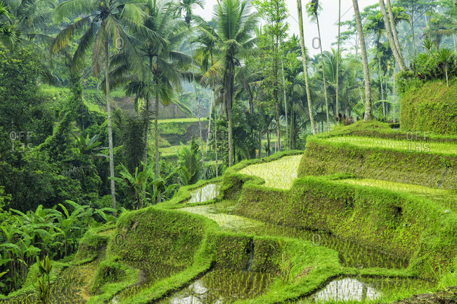 Tegallalang rice terraces, Ubud, Bali, Indonesia, Asia