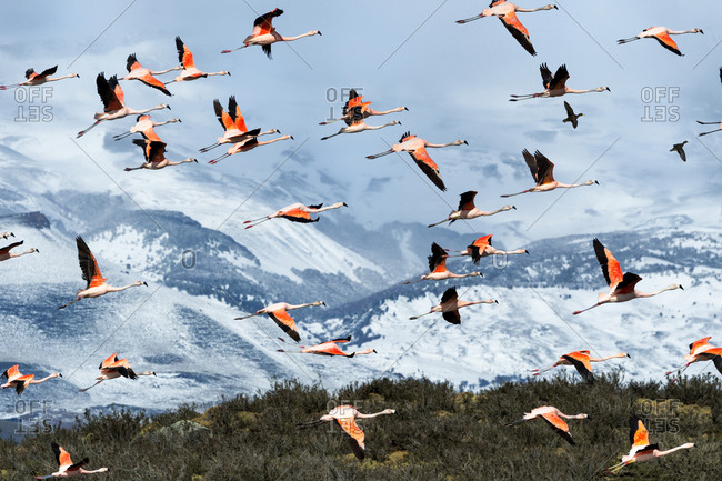 Flock of flying Chilean Flamingos (Phoenicopterus chilensis), Torres del Paine National Park, Chilean Patagonia, Chile, South America