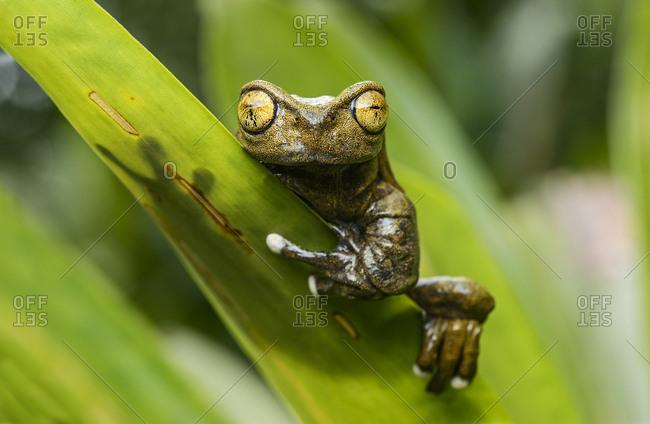 Endemic neotropical frog Tapichalaca Torrenteer (Hyloscirtus Tapichalaca), Tree Frog Family (Hylidae), Tapichalaca nature reserve, Andean cloud forest, Ecuador, South America