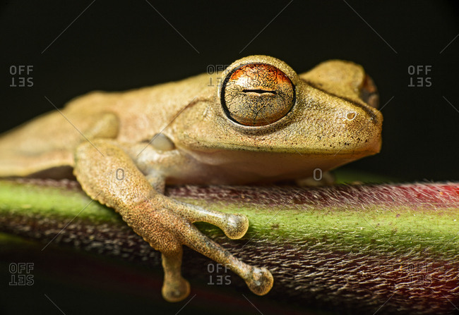 Gunther's banded tree frog (Hypsiboas fasciatus), Amazon rainforest, Copalinga, Zamora Chinchipe, Ecuador, South America