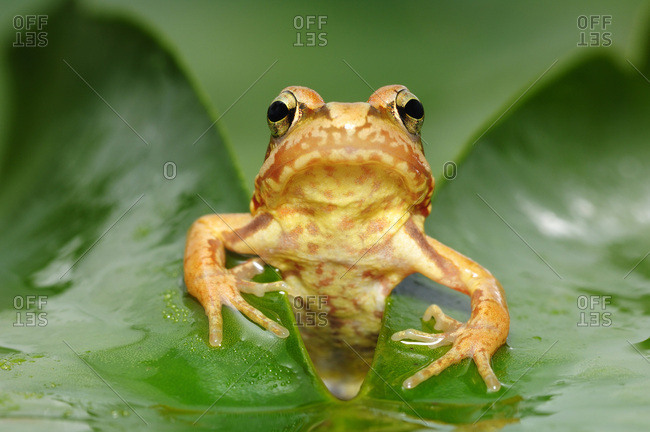 Common frog (Rana temporaria), juvenile