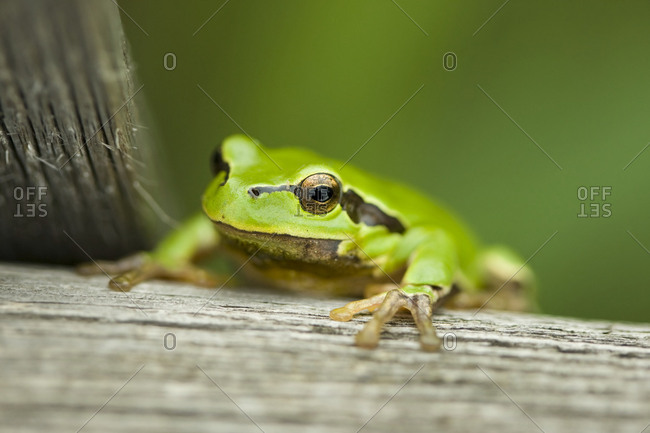 Tree Frog (Hyla arborea), Neusiedler See Lake, Burgenland, Austria, Europe