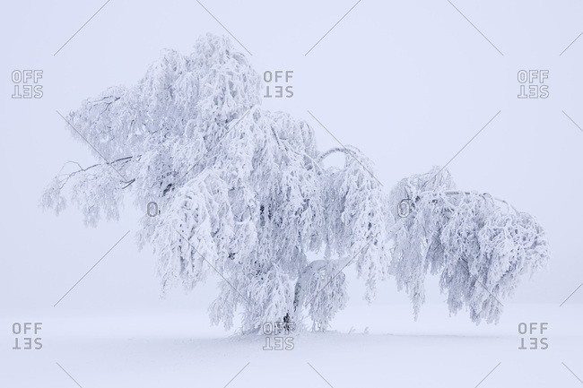 Larch covered with hoar frost and snow, Swabian Alb, Baden-Wuerttemberg, Germany, Europe