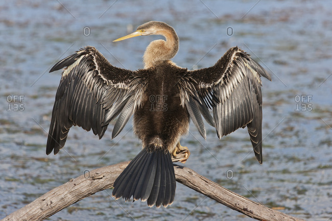 African darter (Anhinga rufa) at Wilderness National Park, South Africa, Africa