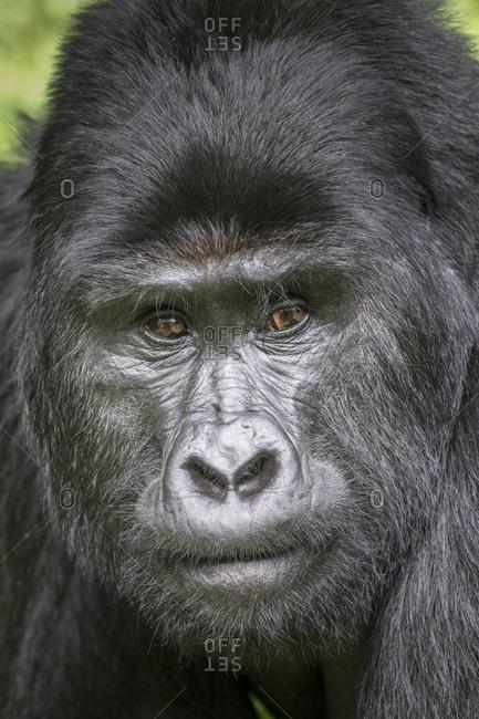 Mountain Gorilla (Gorilla beringei beringei) of the Nkuringo group, Bwindi Impenetrable Forest National Park, Uganda, Africa