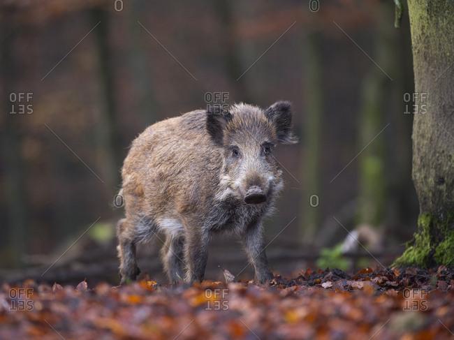 Wild Boar (Sus scrofa), Daun, Rhineland-Palatinate, Germany, Europe
