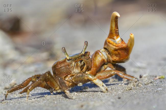 Atlantic marsh fiddler crab (Uca pugnax) in a defense stance, Galveston, Texas, USA, North America