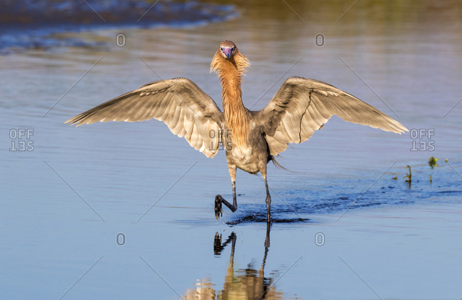 Reddish Egret (Egretta rufescens) hunting in tidal marsh in the morning light, Texas, USA, North America