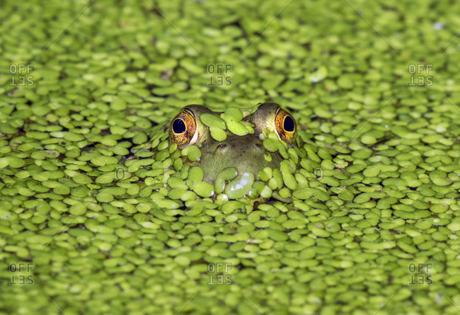 American bullfrog (Lithobates catesbeianus), looking through duckweed (lemna) in a lake, Ledges State Park, Iowa, USA, North America