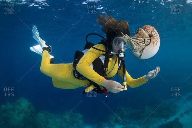 April 25, 2014: Scuba diver watching a Palau Nautilus (Nautilus belauensis), Palau, Oceania
