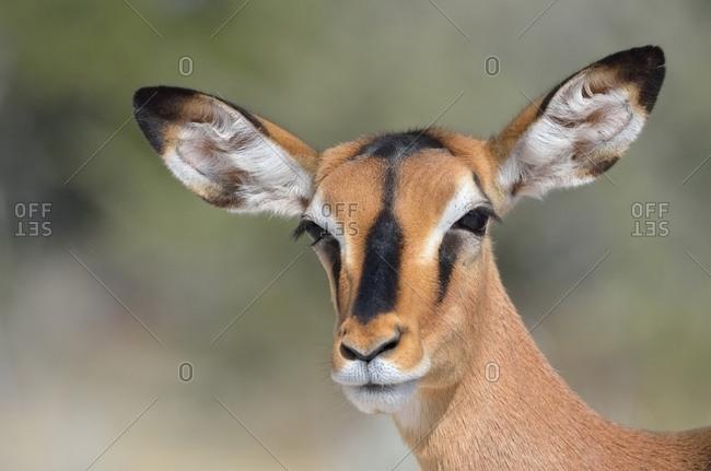 Black-faced Impala (Aepyceros melampus petersi), adult female, Etosha National Park, Namibia, Africa