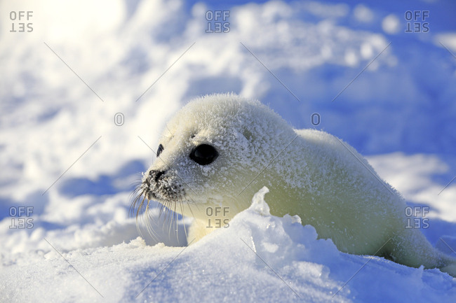 Harp Seal or Saddleback Seal (Pagophilus groenlandicus, Phoca groenlandica) pup on pack ice, Magdalen Islands, Gulf of Saint Lawrence, Quebec, Canada, North America