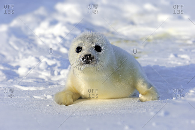 Harp Seal or Saddleback Seal (Pagophilus groenlandicus, Phoca groenlandica), pup on pack ice, Magdalen Islands, Gulf of Saint Lawrence, Quebec, Canada, North America