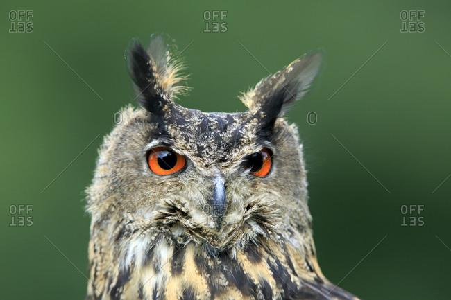 Eurasian Eagle-owl (Bubo bubo), adult, captive, Eifel, Rhineland-Palatinate, Germany, Europe