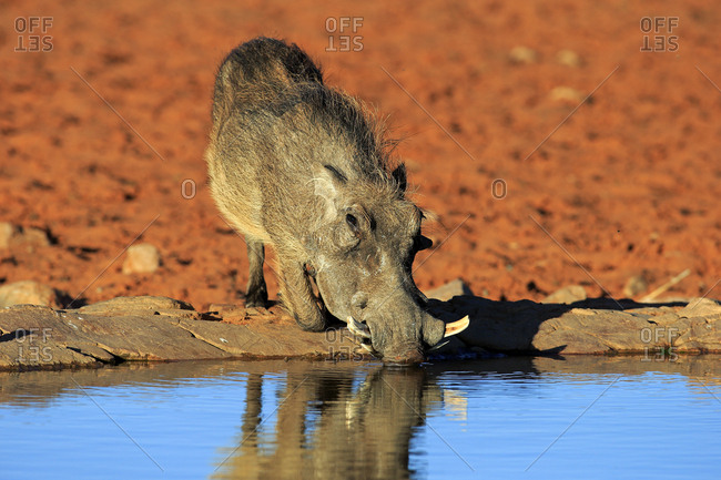 Warthog (Phacochoerus aethiopicus), adult, at the waterhole, drinking, Tswalu Game Reserve, Kalahari Desert, North Cape, South Africa, Africa