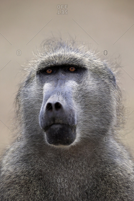 Chacma Baboon (Papio ursinus), adult, animal portrait, Kruger National Park, South Africa, Africa