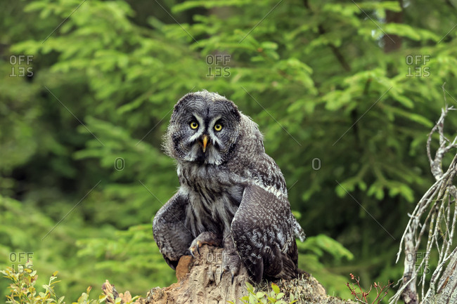Great grey owl (Strix nebulosa), adult on lookout, Kasselburg Vulkaneifel, Germany, Europe