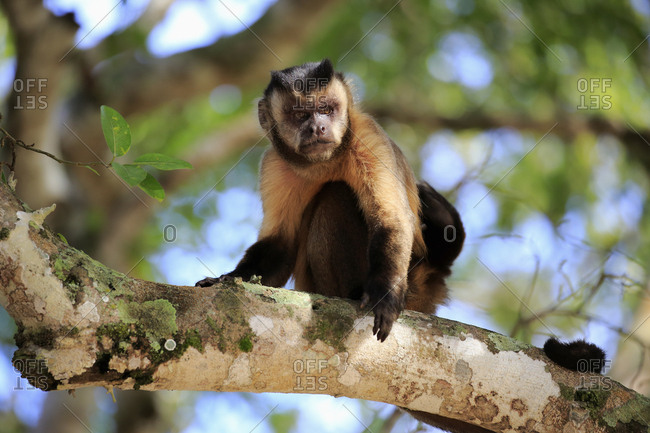 Tufted capuchin (Cebus apella), adult monkey in a tree, Pantanal, Mato Grosso, Brazil, South America