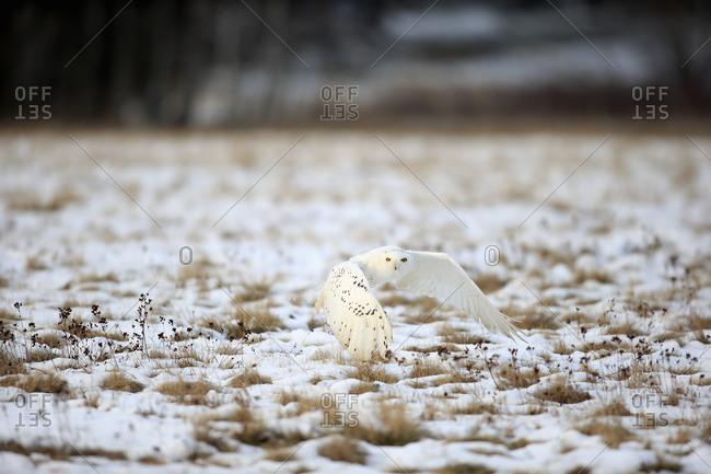 Snowy Owl, Great white owl (Nyctea scandiaca) adult flying up in snow, winter, Zdarske Vrchy, Bohemian-Moravian Highlands, Czech Republic, Europe