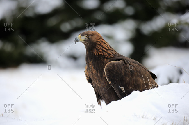 Golden eagle (Aquila chrysaetos), adult in snow, on ground, in winter, snow, Zdarske Vrchy, Bohemian-Moravian Highlands, Czech Republic, Europe