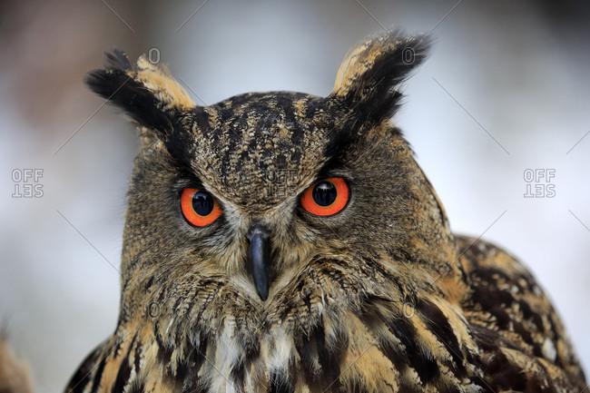 Eurasian eagle-owl (Bubo bubo), adult portrait in winter, Zdarske Vrchy, Bohemian-Moravian Highlands, Czech republic