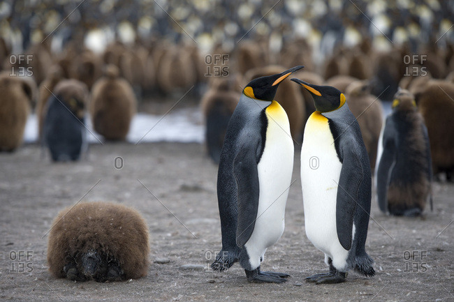 King Penguins (Aptenodytes patagonicus) adult birds, pair, surrounded by chicks in King Penguin colony, St. Andrews Bay, South Georgia and the South Sandwich Islands, British overseas territory, Antarctica