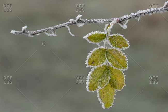 White frost on the leaves of the rose hip (Rosa canina)