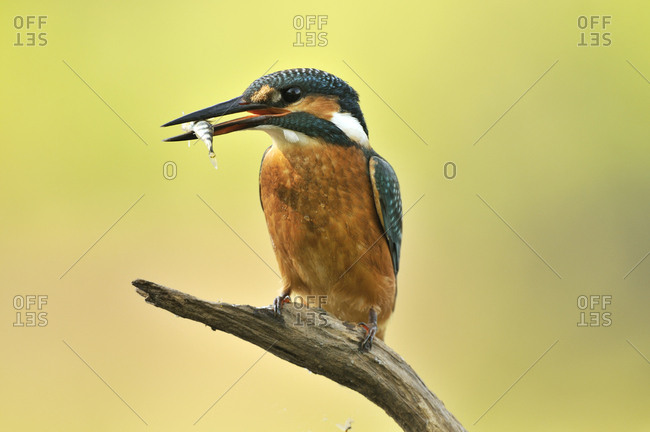 Common Kingfisher (Alcedo atthis) with prey, Middle Elbe Biosphere Reserve near Dessau, Saxony-Anhalt, Germany, Europe