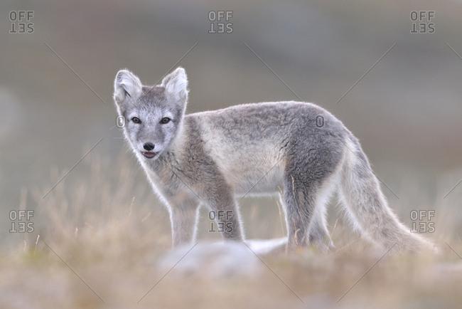 Arctic fox (Vulpes lagopus, Alopex lagopus), young in Fjell, Dovrefjell-Sunndalsfjella National Park, Norway, Europe