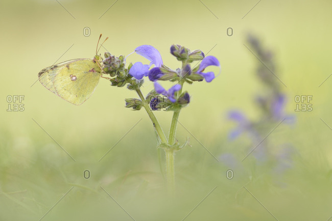 Common Clouded Yellow (Colias hyale), Thuringia, Germany, Europe
