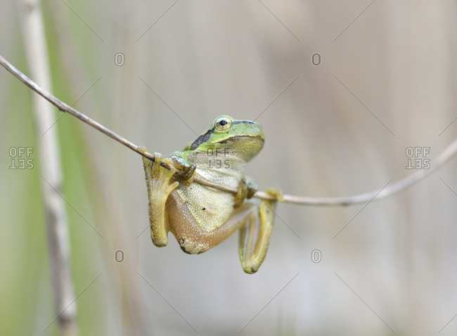 European tree frog (Hyla arborea) hanging on reed, Upper Lusatian Heath and Pond Region, Saxony, Germany, Europe