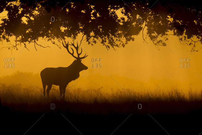 Red deer (Cervus elaphus), stag standing in a woodland at sunrise, Surrey, England, United Kingdom, Europe